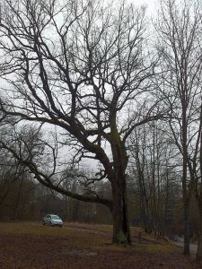 The Oak of J.Pilsudskis 2016-02-15 01 300