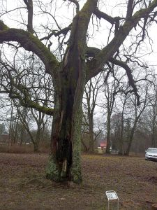 The Oak of J.Pilsudskis 2016-02-15 05 300