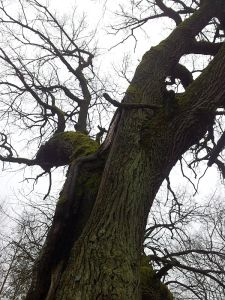 The Oak of J.Pilsudskis 2016-02-15 08 300