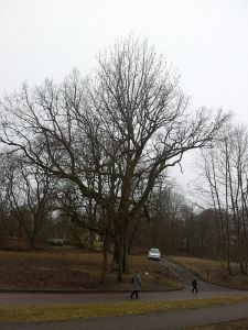 The Oak of J.Pilsudskis 2016-02-15 10 300